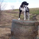 dog on a round bale looking for good rural writing