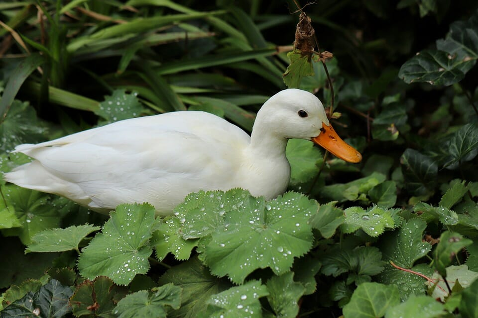 Larry, the Sh– Duck