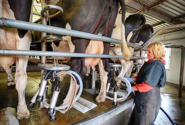 Watching Germans Milk Cows