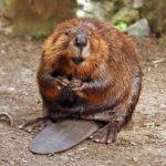 The Beaver Dam (nonfiction), by Steve Adams