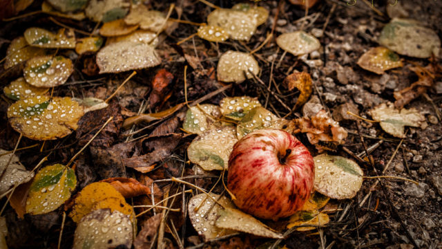 Did You Eat of The Apple? (fiction), by Adam Trodd