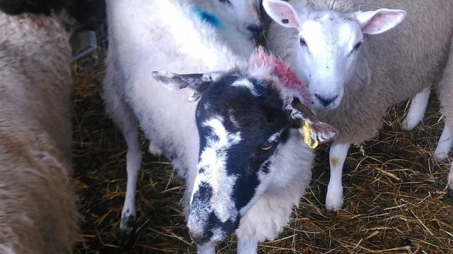 Scabby Sheep's Second Chance, Sally Urwin