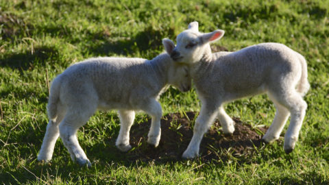Tales from the Lambing Shed by Andy Offer