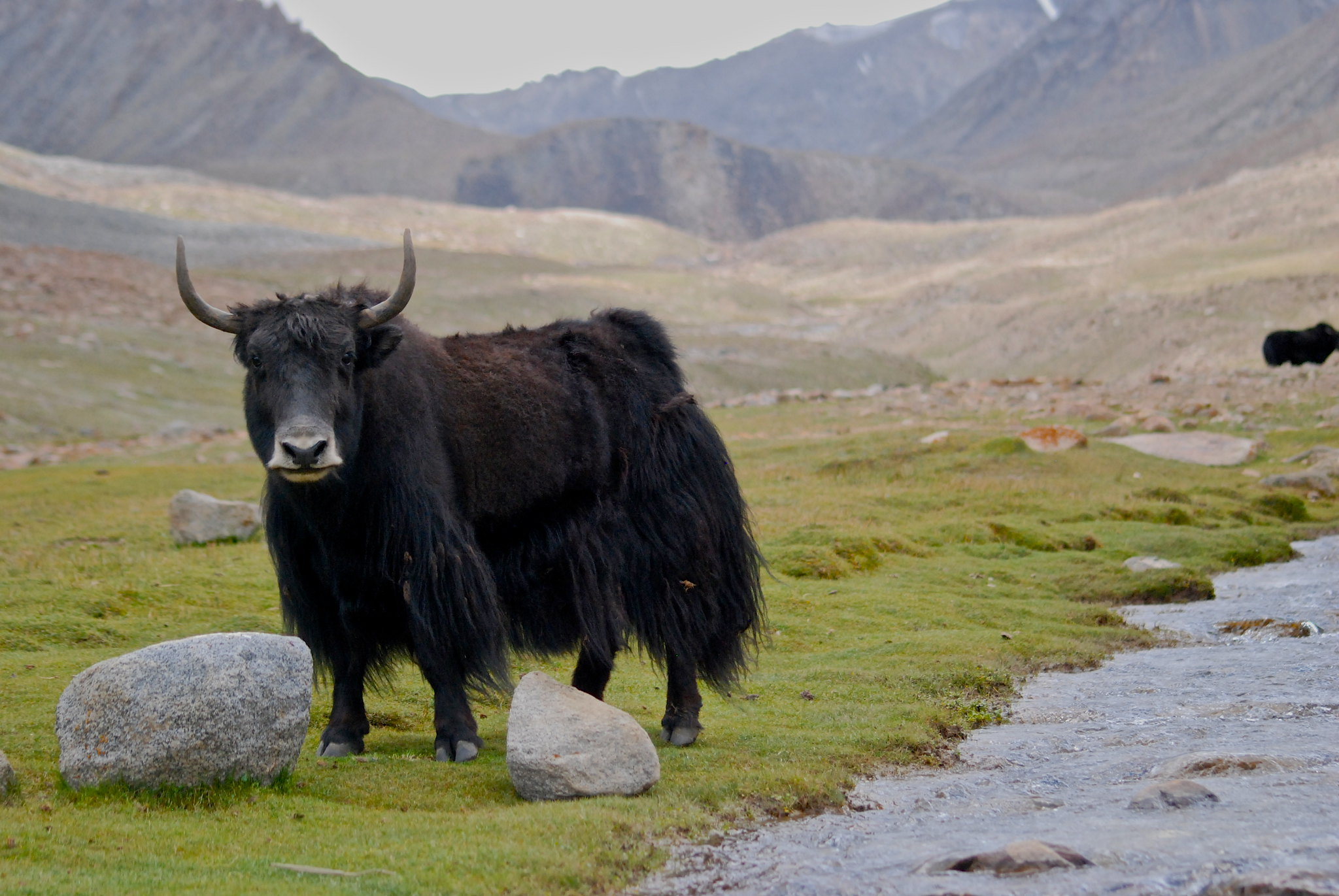 Ode to the Yak